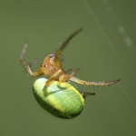 Cucumber Green Spider