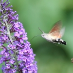 69.010 - Hummingbird Hawk-moth
