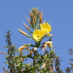 Large-flowered Evening-primrose