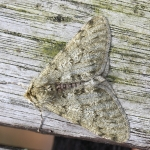 70.247 - Pale Brindled Beauty
