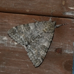 72.078 - Red Underwing