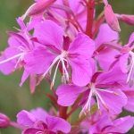 Rose-bay Willowherb
